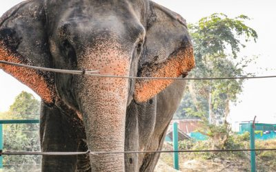The Asian Elephant
