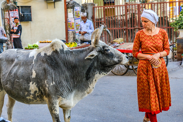 The Cows of India